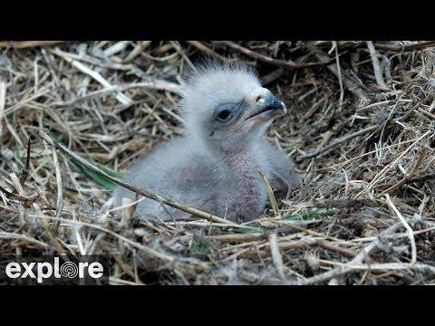 Live-Cam: Vögel - Bald Eagle / Weißkopfseeadler (Ca ...