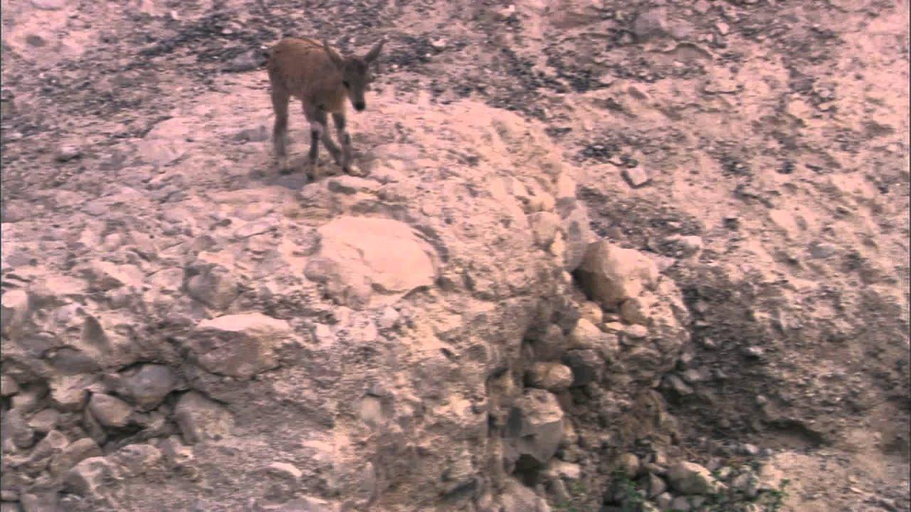 Hayat Belgeseli – Dağ Keçisi Yavrularının Erken Başlayan Yaşam Savaşı
