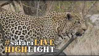 A perplexing scenario with three male leopards in the same proximity