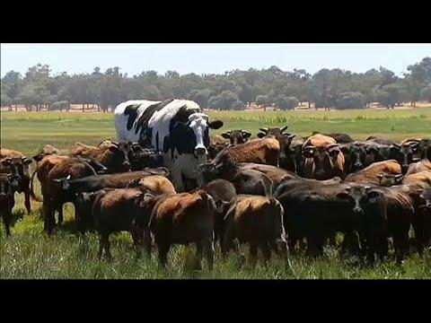 Αγελάδα έτοιμη για…μπάσκετ