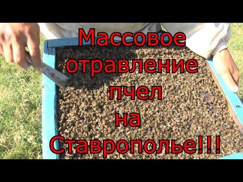 Беда на Ставрополье. Более 100 пчеловодов потеряли пчел!