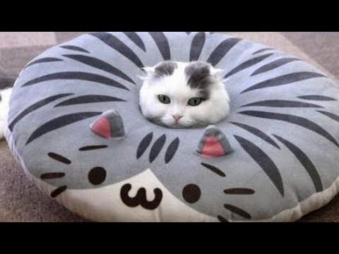 Challenge: Try Not to Laugh at These Hilarious Cats!