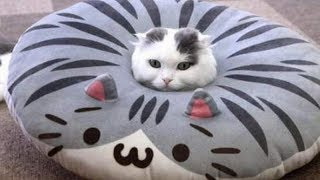 """These cat and kitten videos will make you roll on the floor laughing! If you want to play try not to laugh, I guarantee you will fail! Just look how all these cats & kittens play, fail, get along with dogs and other animals, get scared, make funny sounds, get angry,... So ridiculous, funny and cute! What is your favorite clip? :) Hope you like our compilation, please share it and SUBSCRIBE! Watch also our other videos!The content in this compilation is licensed and used with authorization of the rights holder. If you have any questions about compilation or clip licensing, please contact us: tigerlicensing@gmail.comWANT TO SEE YOUR PET IN OUR COMPILATIONS?Send your clips or links to: tigerlicensing@gmail.comFor more funny videos & pictures visit and like our Facebook page:https://www.facebook.com/tigerstudiosfunMUSIC USED:""""Hall of the Mountain King, Monkeys Spinning Monkeys"""" Kevin MacLeod (incompetech.com) Licensed under Creative Commons: By Attribution 3.0https://creativecommons.org/licenses/by/3.0/#cat #cats #funny #compilation #laugh #challenge"""