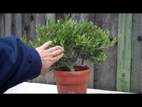 How to create an Olive tree Bonsai Part 1 initial shaping.mp4