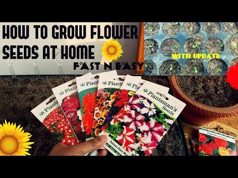 Video How To Grow Flower Seeds Fast (With Update) download in MP3, 3GP, MP4, WEBM, AVI, FLV January 2017