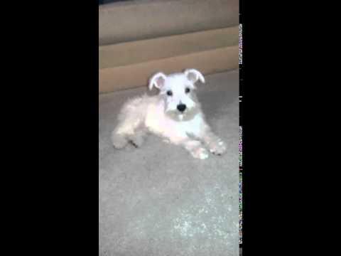 Kasper Blue Miniature Schnauzer Puppy