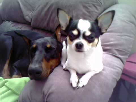 Chihuahua Loves The Doberman