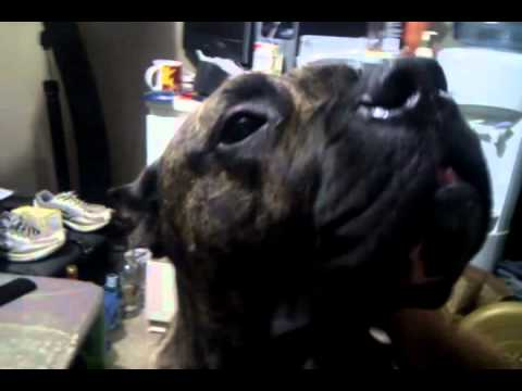 Canary Dog - 165 Pound Freak Of Nature Presa Canario aka Canary Dog.