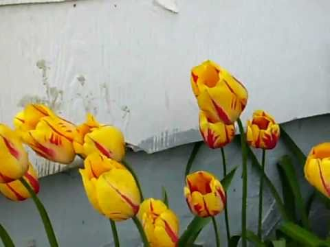 Transplanting Tulips After Bloom How to Transplant Tulips in