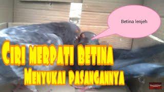Burung merpati sedang birahi