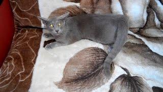 Во сколько месяцев у молодой кошки начинается первая течка?