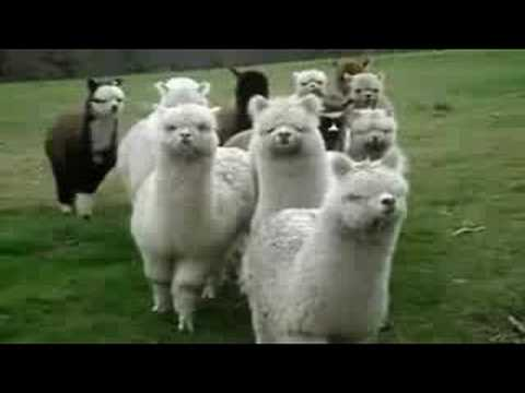 Star Wars: Attack of the Alpacas