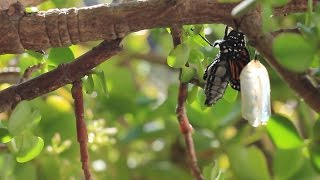 """New Video: Butterfly emerges from Chrysalis to """"Wild Ride"""" by Chonk"""