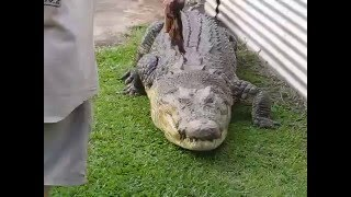 Innisfail Australia  city photos gallery : Huge Croc Fed Like a Pet | Johnstone River Crocodile Farm | Innisfail, Australia