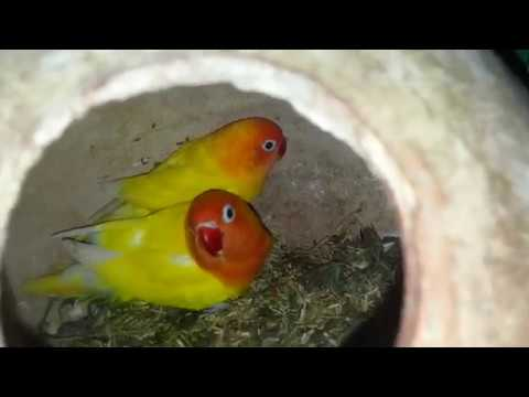 Love Birds Breeding Tips And Information Love Birds Breeding Season [ Video In Urdu & Hindi ] .