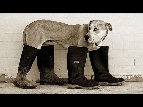 Собака учится ходить заново! Хозяин приобул кобелька в чешки! Умора, смешно до слез!