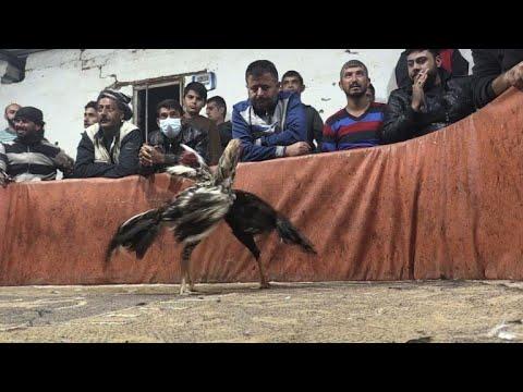 العرب اليوم - شاهد: صراع الديكة ينتشر في مناطق الأكراد شمال سورية