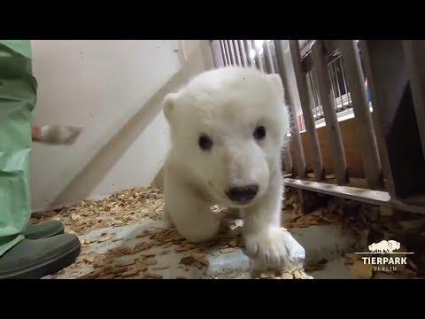 Neue Bilder vom Eisbär-Baby im Berliner Tierpark