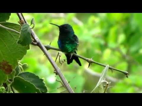 Shining-Green Hummingbird  - Lepidopyga goudoti - Hummingbirds from america