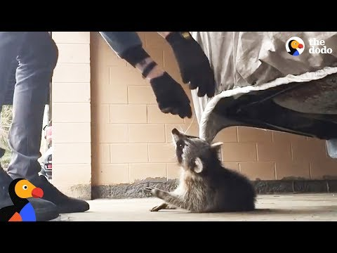 Download Man Rescues Raccoon Choking From Car Tarp   The Dodo HD Mp4 3GP Video and MP3