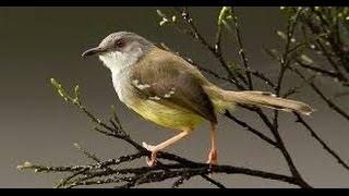Jenis-jenis Burung Ciblek di Indonesia Yang Digemari Para Kicau Mania !!! Video