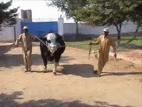 Tufaan for Eid Ul Azha (Bakra Eid) by Shah Cattle Farm, Karachi.
