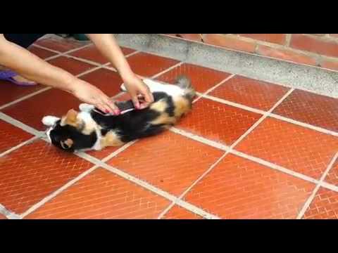 metodo per eliminare il pelo morto dal gatto