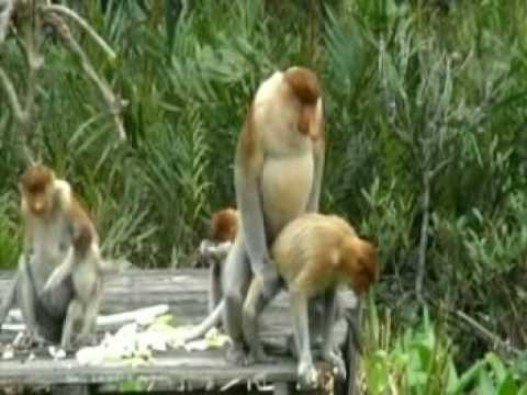 Video Proboscis Monkey Love in Borneo - Director´s Cut download in MP3, 3GP, MP4, WEBM, AVI, FLV January 2017