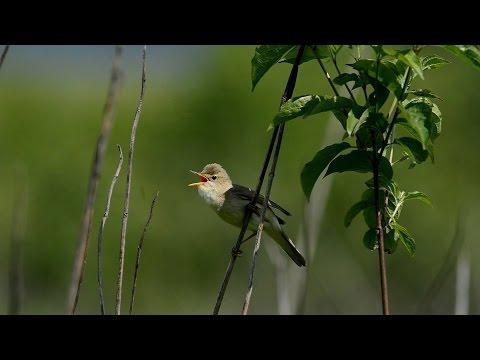 Болотная камышовка певчая птица