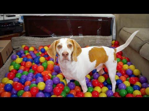 una bellissima sorpresa per il compleanno di un beagle