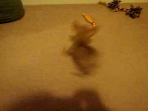 Tiny Teacup Chihuahua 1.2lb doing tricks