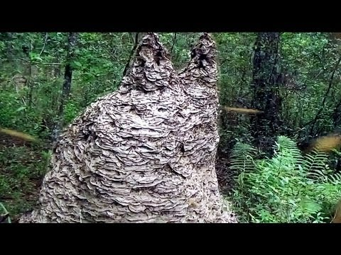 Massive 8ftx6.5ft yellow jacket nest with thousands of queens and millions of workers.