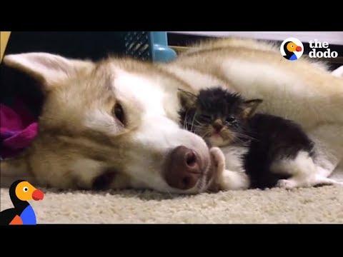 Husky Dog Adopts Stray Cat Saving Her Life | The Dodo: Comeback Kids S01E02