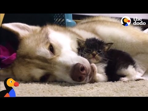 Husky Dog Adopts Stray Cat Saving Her Life | The Dodo: Comeback Kids S01E02