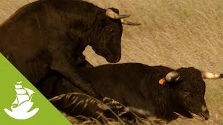 A free four-year-old arrogant bull and one that´s very attached to his land. At this age, they are permanently in heat and mastubate daily.SUBSCRIBE and discover shocking scenes and the most amazing videos: http://goo.gl/fC5pjCFollow us in:Facebook: https://www.facebook.com/NewAtlantisD...Twitter: https://twitter.com/NewAtlantisDocu