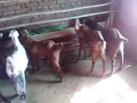 rajasthan goat farming - 30shirohi breed buck & 14deshi breed buck at the farm for Eid ,contect 8094933122.