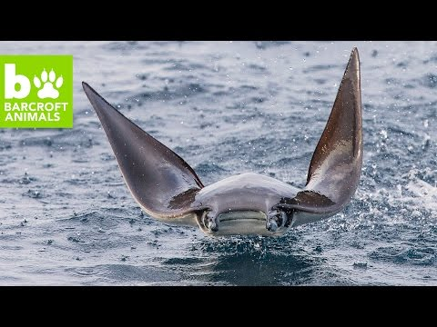 Amazing Aerial Drone Footage Of Leaping Mobula Rays