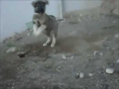 Kangal Power -