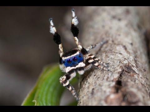 Dashing New Australian Species Of Peacock Spider Just