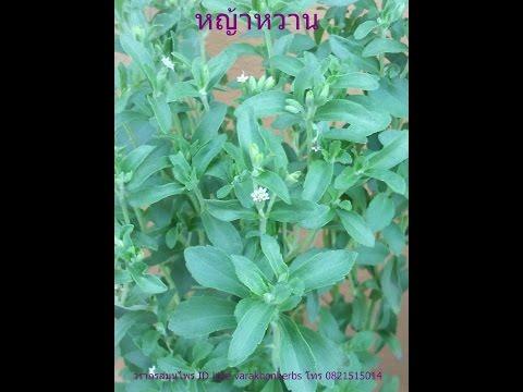 หญ้าหวาน สมุนไพรทดแทนน้ำตาล วรากรสมุนไพร ID Line varakhonherbs Tel. 0821515014