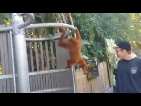 il cucciolo di orangotango scappa dal recinto per un motivo divertente!