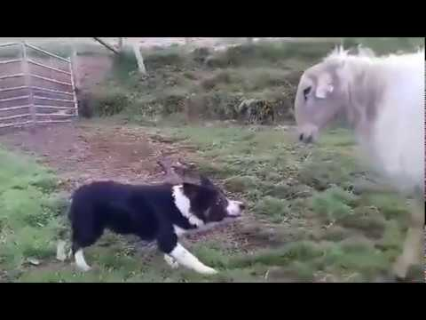Nyt on Bordercollie tarkkana – Koira vs Lammas