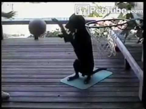 pettube - Zeke the dog dribbles a basketball and catches an alley-oop dunk. http://pettube.com.