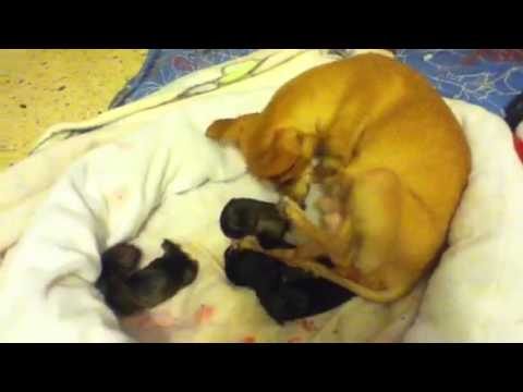 Part 4 of chihuahua giving birth