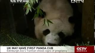 VIDEO  UK MAY HAVE FIRST PANDA CUB