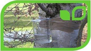 Birkensaft zapfen - Tipps und Tricks