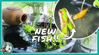 Adding Fish to My Patio Pond! (Dalmatian & Balloon Mollies) by Solid Gold Aquatics