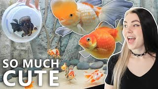 Goldfish Moving Day by Solid Gold Aquatics