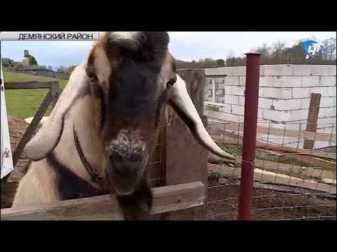 В Демянске небольшое деревенское подворье скоро превратится в молочную ферму