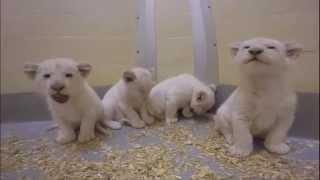 La vidéo des petits lions blancs nés au zoo de Toronto